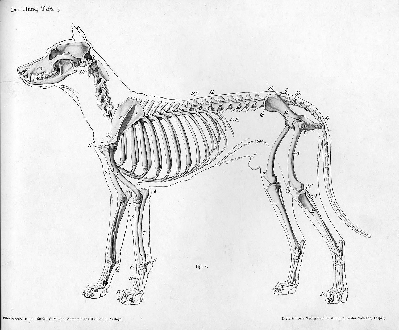 Anatomie chien
